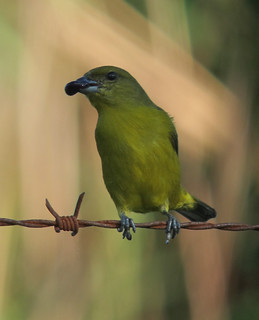 Euphonia laniirostris / Eufonia gorgiamarilla / Thick-billed Euphonia ( female ) | by felixú
