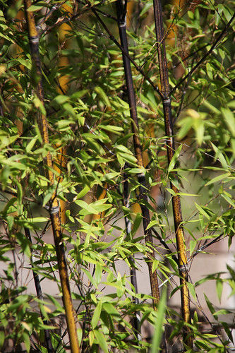 Black bamboo - Phyllostachys nigra - San Diego Zoo | by Tim Evanson