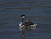 Clarks Grebe and chick by podicep