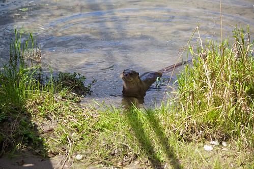Otter   by Missud