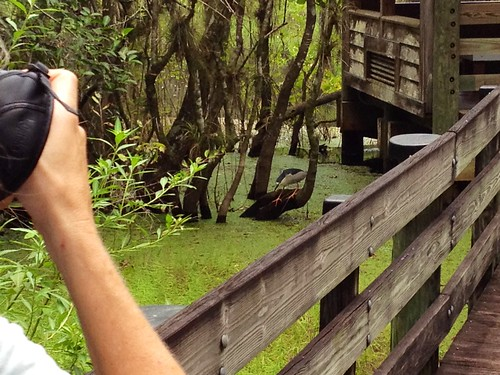 Shooting a heron in the swamp | by Erin *~*~*