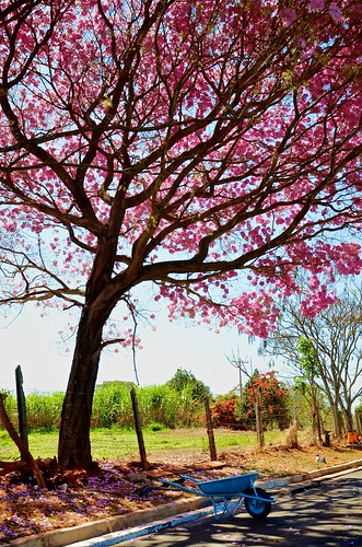 pink tree colors beauty contrast nikon day rosa rafael odc soares ourdailychallenge