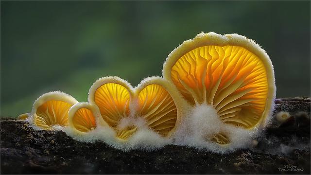 Orangeseitling - Phyllotopsis nidulanss