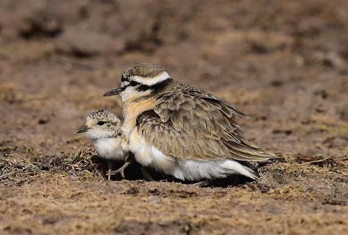 kittlitzsplover charadriuspecuarius gaborone botswana chick