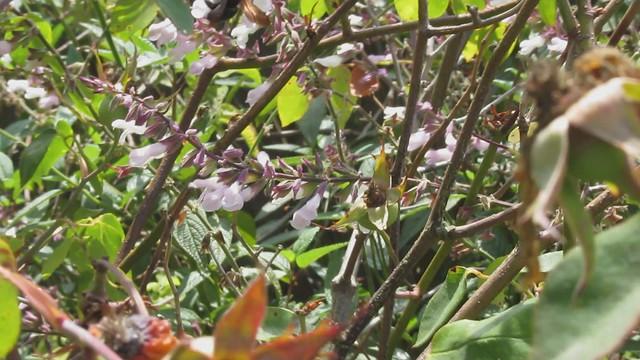 MVI_8902 carpenter bee working white salvia