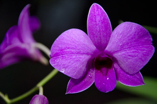 Common Orchid   by sledge149