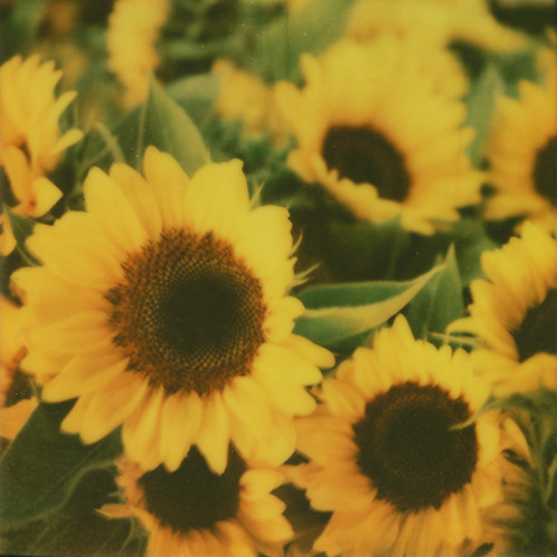 Sunflowers | by Photege