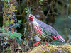 Blood Pheasant (Ithaginis cruentus) by David Cook Wildlife Photography