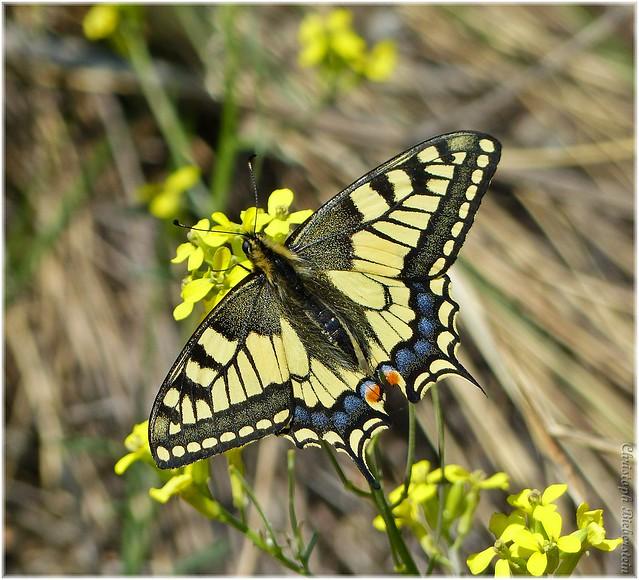Schwalbenschwanz (Papilio machaon) [in explore]