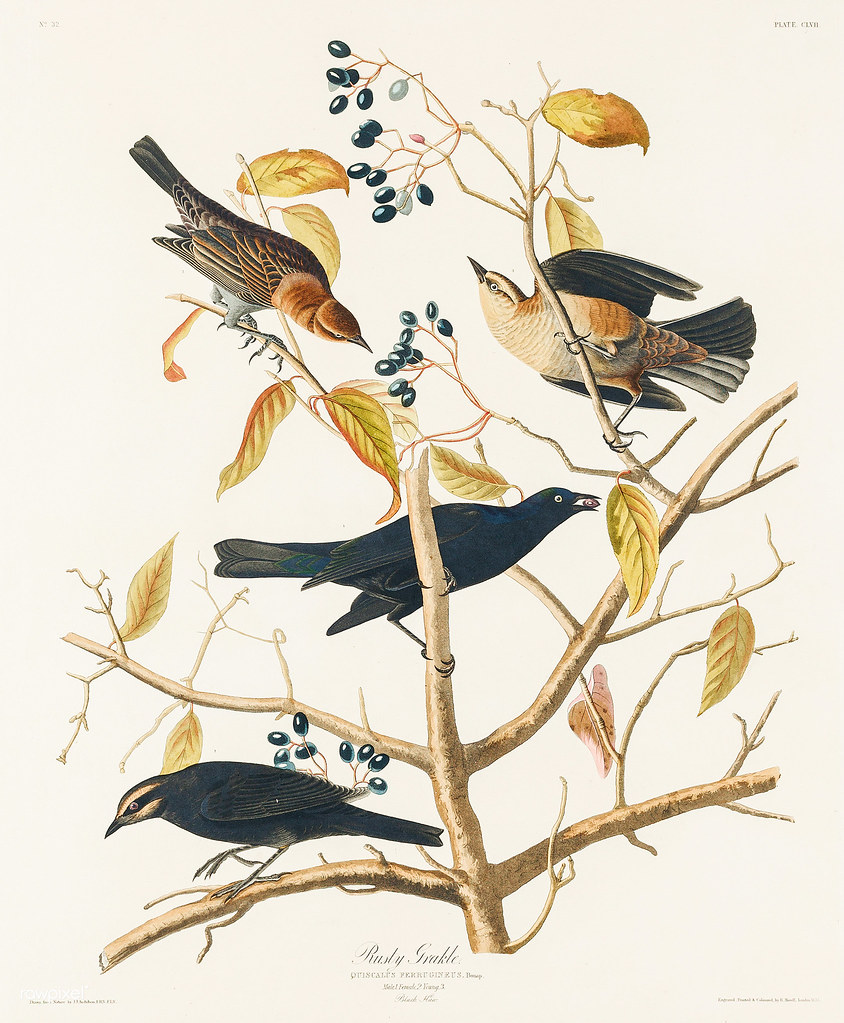 Rusty Grakle from Birds of America (1827) by John James Au… | Flickr