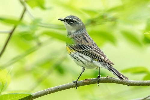 Yellow-rumped warbler | by Nature as Art Photography