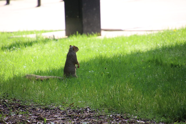 Squirrels (including Juveniles) in Ann Arbor at the University of Michigan (March 28th, 2018)