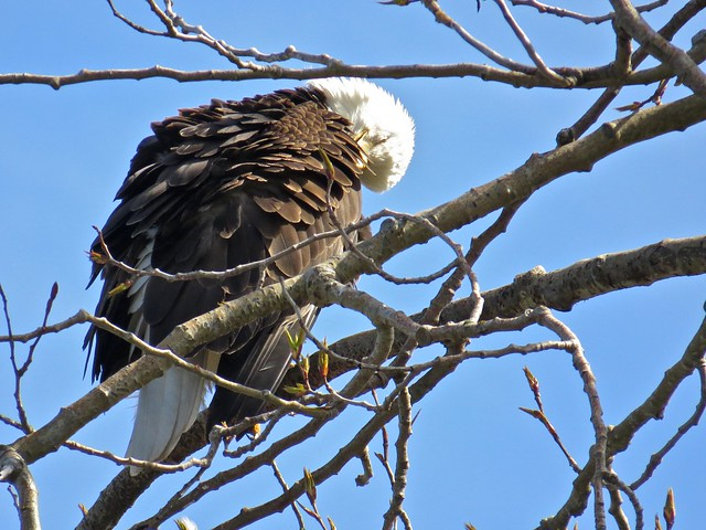 Preening Eagle 002