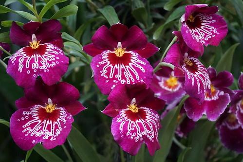 Orchid DSC00602 | by benhosg