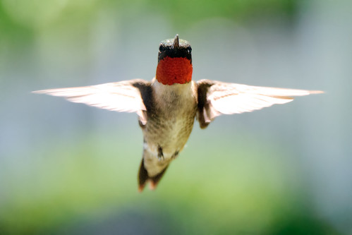 Ruby Throated Hummingbird | by Eric Kilby