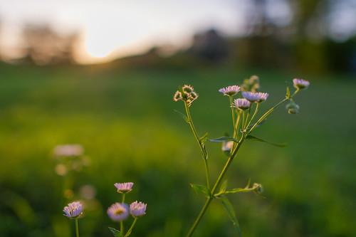 park sunset blur flower green japan ed nikon bokeh osaka 24mm gradation nikkor afs tsurumi ryokuchi f14g d3s