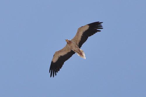 Dubai 2012 – Egyptian Vulture | by Michiel2005