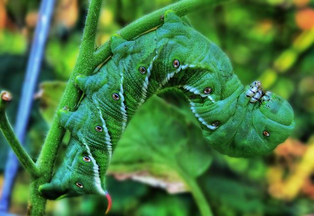 Tomato Worm, Tomato Hornworm