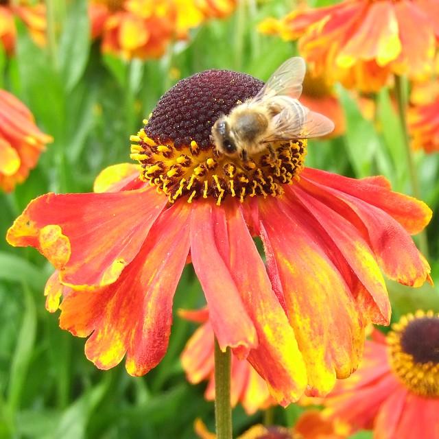 Honey Bee on Reddish Orange Helenium, Royal Botanic Gardens, KEW @ 21 July 2012 (P2 of 3)