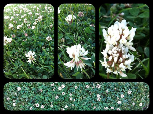 My Clover Collage June 27