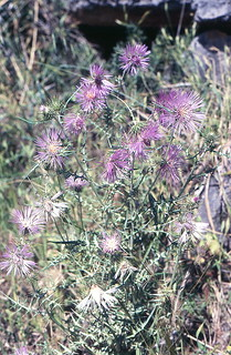 Galactites tomentosa, (l.) Moench,
