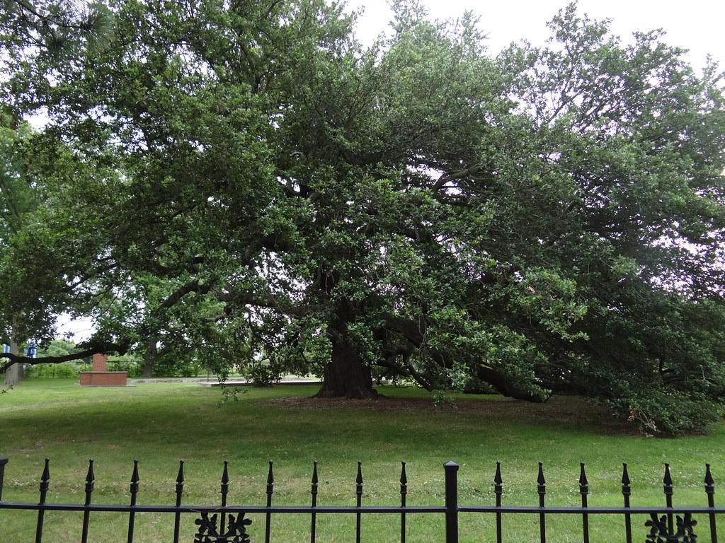 Emancipation Oak - Hampton VA {juni 2012}