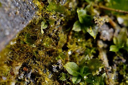 brazil southamerica moss mosses gametophyte bryophyta protonema