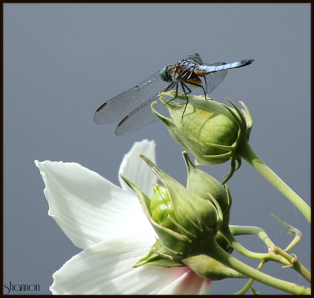 Blue Dasher on Rose Mallow Hibiscus