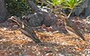 Bush Stone Curlews by Peter-Marie