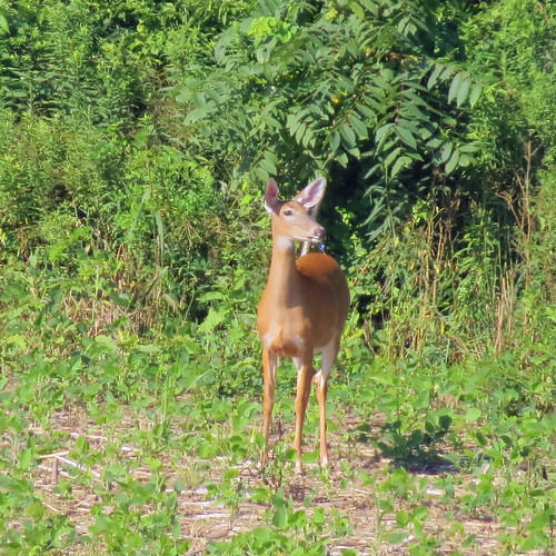 deer whitetaileddeer dalesridgetrail morning field lewisburgpa july
