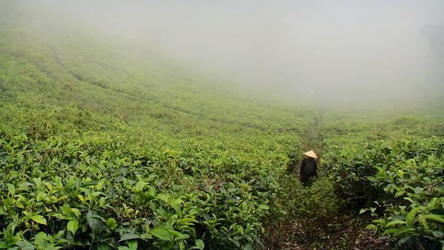 Kemuning Tea Plantation