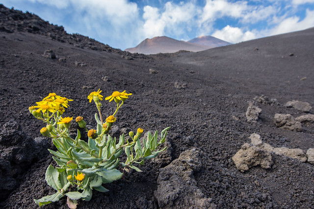 Etna Flower - the only one