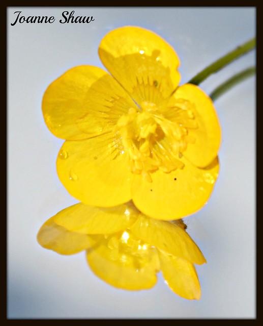 IMG_8637 BN Buttercup 1