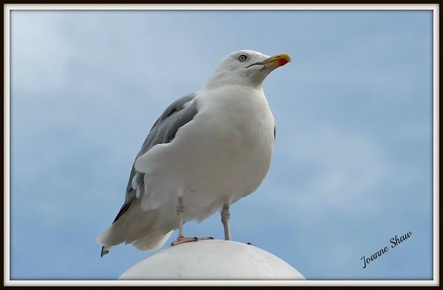 IMG_9916 Herring Gull n b