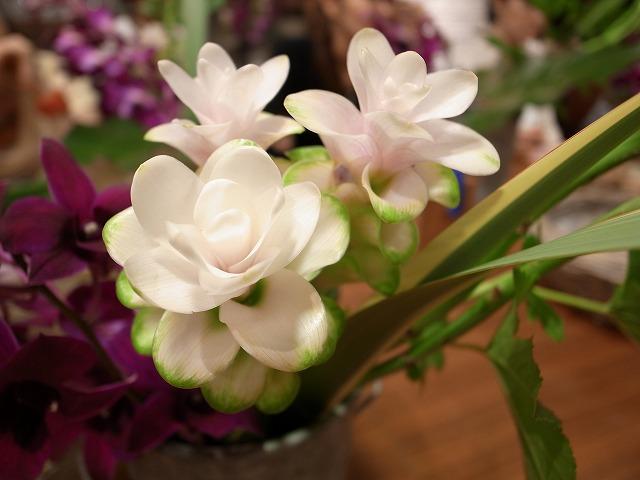 <p>d)クルクマ プーディンプリンセス<br /> わーきれいなお花と思うでしょ!でも見えてるのはお花じゃないんです。</p>