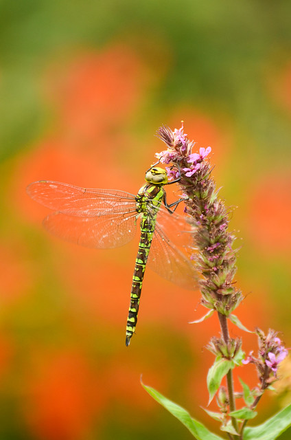 Southern Hawker on Purple Loosestrife