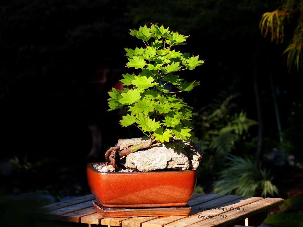 Acer Shirasawanum Aureum Bonsai Summer Color Acer Shiras Flickr