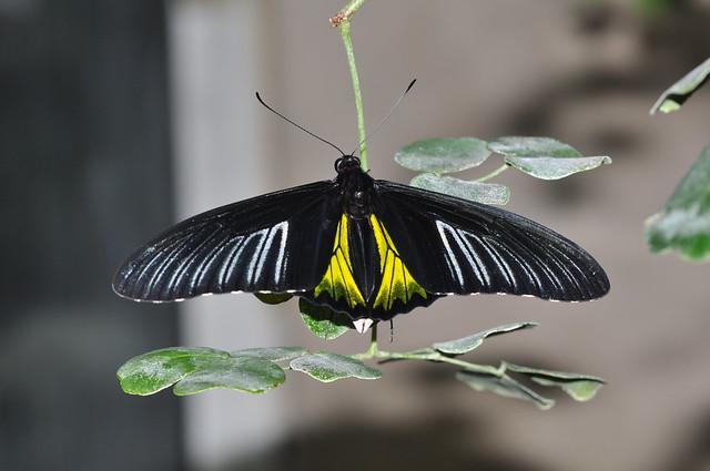 Golden birdwing, Troides rhadamanthus
