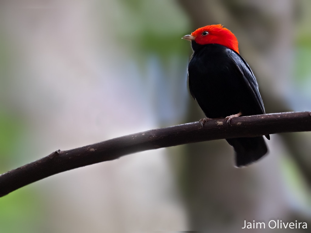 Red_Headed Manakin {Explored}