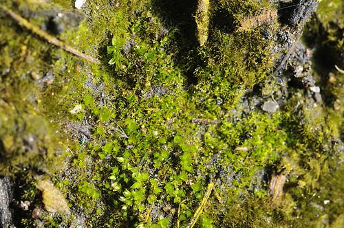 bryophyta moss protonema gametophyte mosses brazil southamerica bryophyte