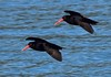 Variable oystercatchers Haematopus unicolor by Maureen Pierre