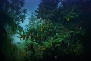 Misty Evergreens