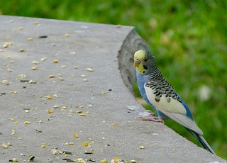 Budgie comes to visit | by chipdatajeffb