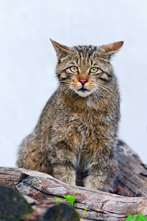 Cute wild cat on the wood   by Tambako the Jaguar