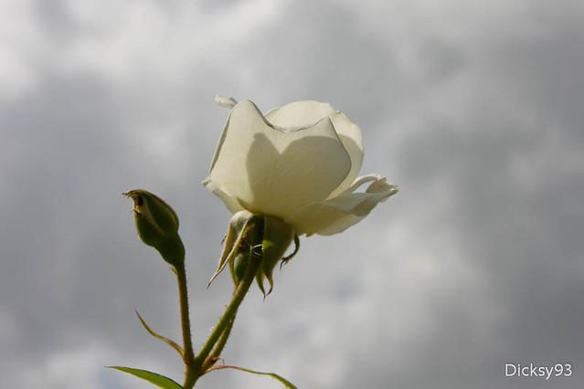 La roseraie du parc de Bercy - Paris 12ème
