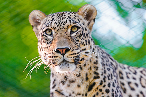 Portrait of the male Persian leopard | by Tambako the Jaguar