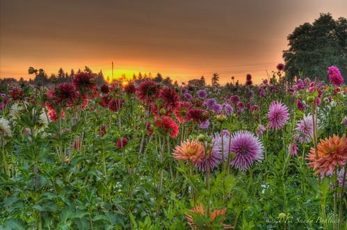 sunrise swanislanddahlias borderfx