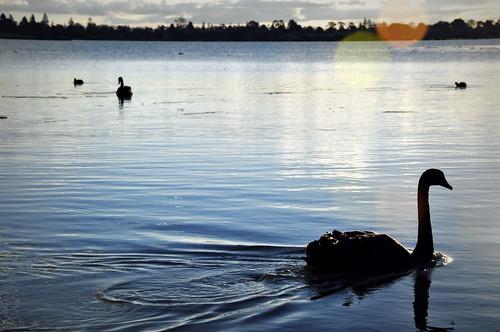 Black swan | by Ed 飘