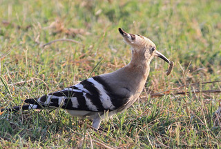Eurasian Hoopoe with worm 2 | by Φ-Filippos-Κ