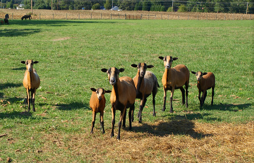 Summerseat Farm sheep in pasture, Mechanicsville